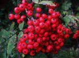 Luscious Berries